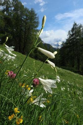 prairie fleurie alpine
