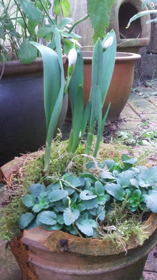 Schneeglöckchen. Neben den Primeln die ersten neuen Blüten des Jahres.
