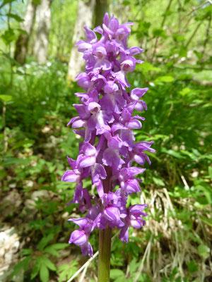 Männliche Knabenkraut (Orchis mascula), Lengeltal Ellershausen