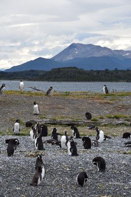 Pinguine kur vor Kapp Hoorn