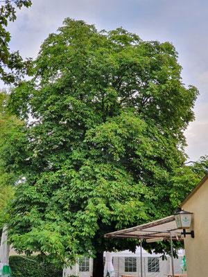 Unser Wahrzeichen: Der Kastanienbaum