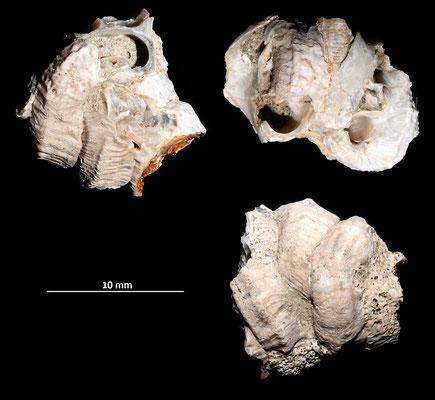 Petaloconchus deshayesi, Vignola (MO)