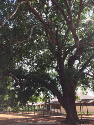 riesige Mangobäume auf dem Krankenhausareal