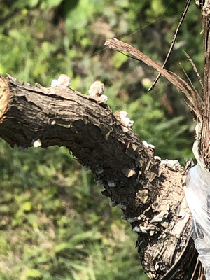 香月ワインズ2019年春の畑 芽吹き2