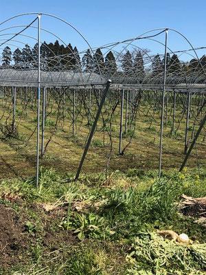 香月ワインズ2019年春の畑2