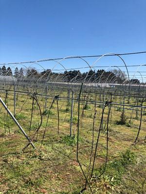 香月ワインズ2019年春の畑3