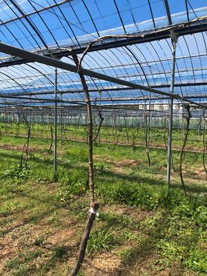 香月ワインズ2019年春の畑 接ぎ木3