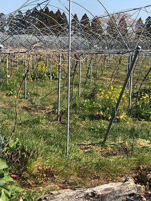香月ワインズ 2019年1月 メルロー畑1