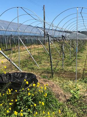 香月ワインズ2019年春の畑