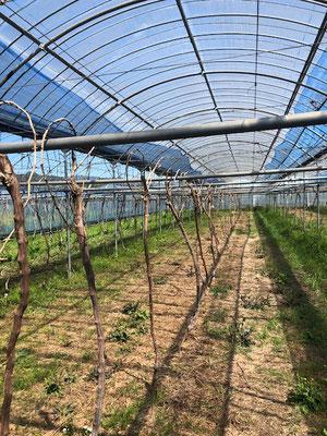 香月ワインズ2019年春の畑5