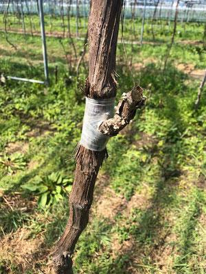 香月ワインズ2019年春の畑 接ぎ木