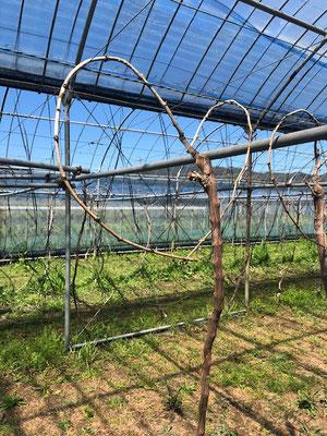 香月ワインズ2019年春の畑4