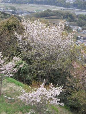 弘法山、桜