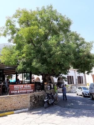 Der Baum des Müßiggangs in Bellapaix (Beylerbeyi)