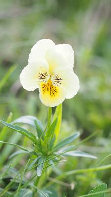 Österreich, Sudetenveilchen, viola lutea ssp. sudetica