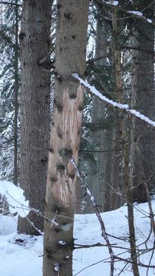 Das Wild hat Bäume beschädigt