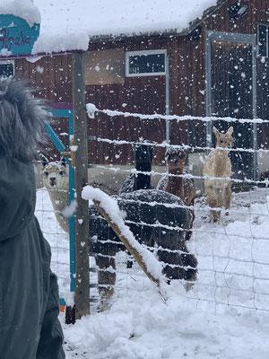 Alpakas im Schnee