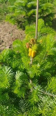 21. Mai 2020.   Dieser junge Christbaum ist leider nicht mehr zu retten. Die Spitze ist bereits zu stark beschädigt.