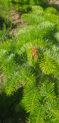 21. Mai 2020.   Erste Bäume in der Christbaumkultur sind mit Botrytis befallen. Am 25.Mai erfolge je Hektar eine Sprühbehandlung mit 5 Liter KE-plant und 1 kg KE-mineral in 200 Liter Wasser.