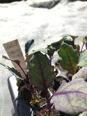Kohlrabi Jungpflanze