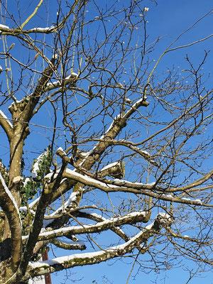 Baumschnitt im Winter