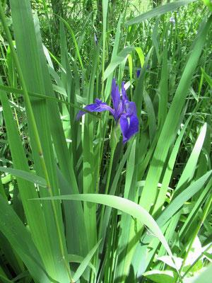 2020.6.7 マクンベツ湿原に咲く燕子花(カキツバタ)。