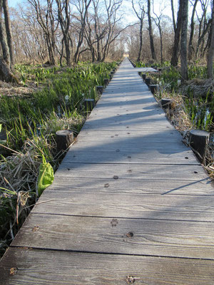 一直線に延びた木道には、キツネと思われる足跡が点々と。