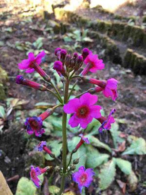 クリンソウの残り花。