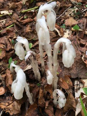 2020.10.1 新見峠から白樺山へ。 登り始めてすぐに出会ったのは、銀竜草(ギンリョウソウ)。ご存知、色素を持たない花。秋に咲いているのでギンリョウソウモドキかも。