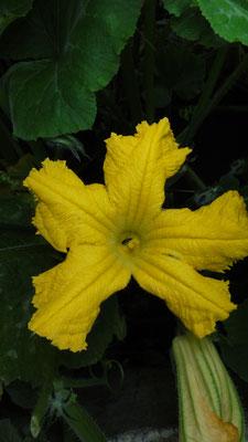 De manlijke bloem van de pompoen