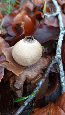 Jan 2020  010 Aardster (Geastrum)