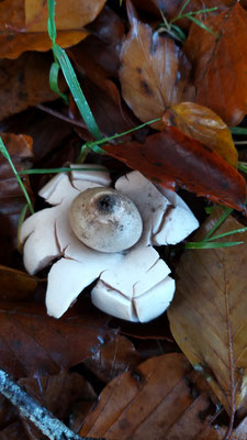 Nov 2019 101 Aardster (Geastrum)