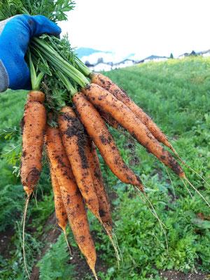Karottenernte 2019