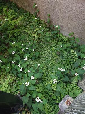 においが独特でくさい!って方も多いですが、お花は白くてかわいいですね(^_-)-☆
