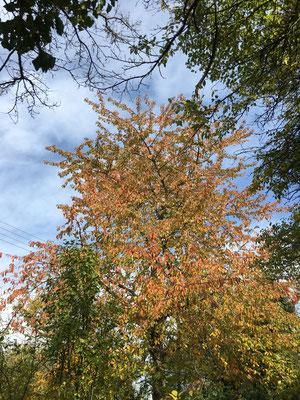 Kirschbaum im Herbstlaub (Dagmar Schülke)