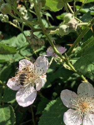 Eine Biene auf einer blühenden Brombeerhecke (Dagmar Schülke)