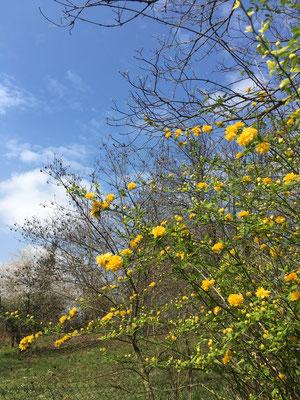 Ranunkelbusch: Der Frühling hält Einzug (Dagmar Schülke)