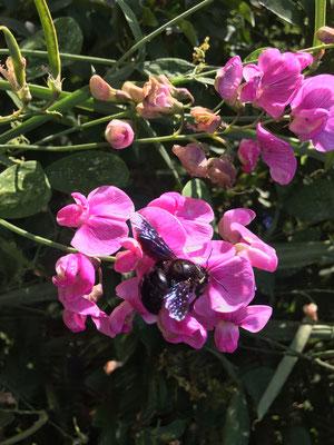 Eine Holzbiene auf einer wilden Wicke (Dagmar Schülke)