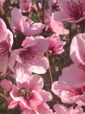 Eine Biene auf einer Mandelblüte (Dagmar Schülke)