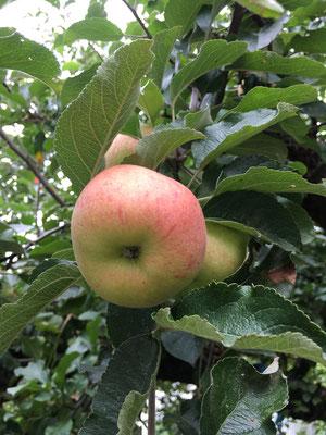 Knackiger Apfel (Dagmar Schülke)