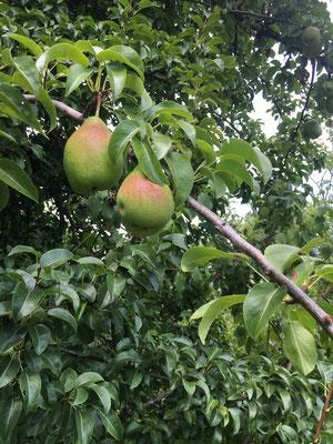 Saftige Birnen (Dagmar Schülke)