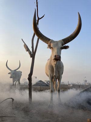 Корова на стоянке скотоводов Мундари
