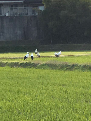 稲田で休憩するコウノトリ