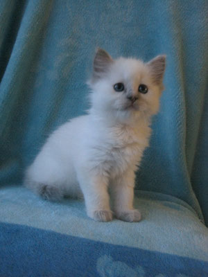 Saphira - Ragdoll blue point