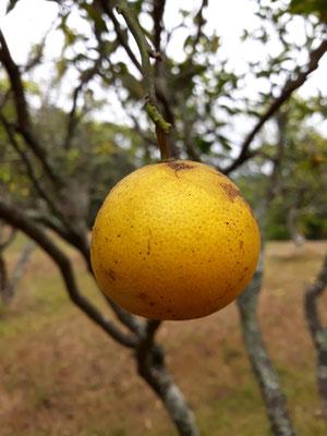 Citron Hahei