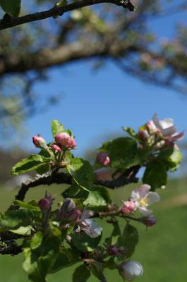 Beste Jahreszeit für diese Wanderung ist die Apfelblüte im April/Mai, aber auch im Spätsommer ist es hier bestimmt sehr schön, wenn die Äpfel reif sind.
