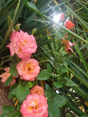 Prachtsrosen im Garten