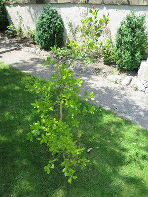 Quercus phillyraeoides in Schaffhausen, Juni 2015