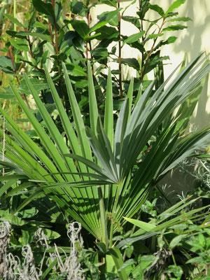 Trachycarpus princeps (new form, hybrid) im Oktober 2015