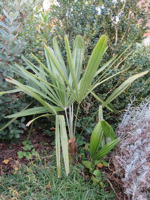 Rhapidophyllum hystrix, Nadelpalme, Oktober 2015
